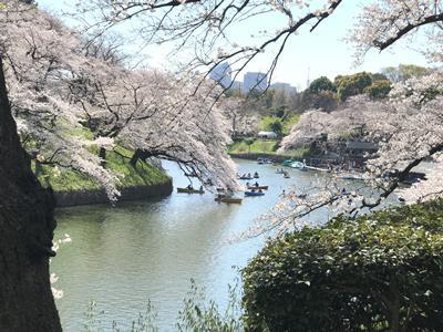 2019 Chidorigafuchi Cherry Blossoms (千鳥ヶ淵の桜)