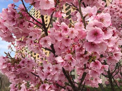 Cherry Blossom Season 2016