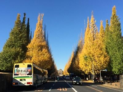 golden ginkgo trees in Tokyo