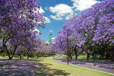 Australia's jacaranda trees