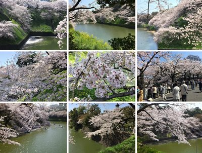 Japanese cherry blossoms 2015