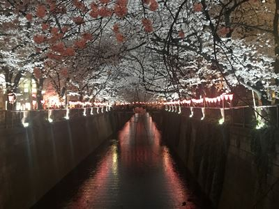 Nighttime lightup of Megurogawa cherry blossoms
