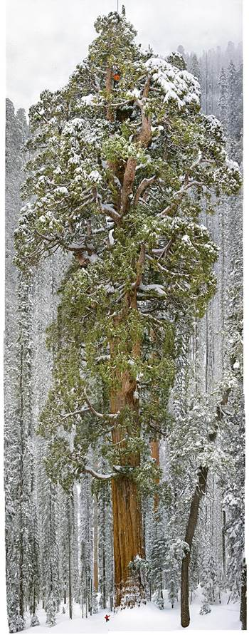 Sequoia's The President Tree