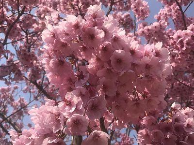 2017 Tokyo cherry blossoms