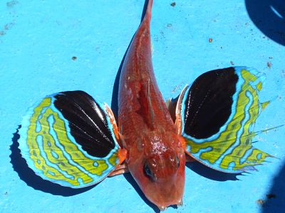 Miura Kaigan butterfly fish