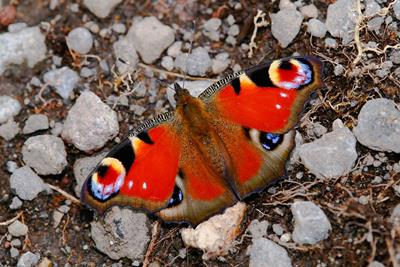 peacock butterfly by Danny Soh