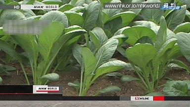 Radioactive Tokyo spinach