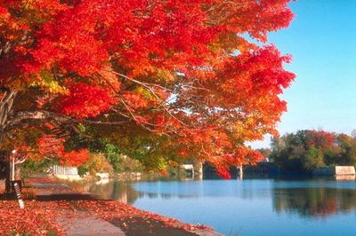 Maple leaves in Canada
