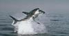 Shark jumping