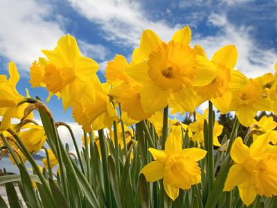 Daffodil - National flower of Wales