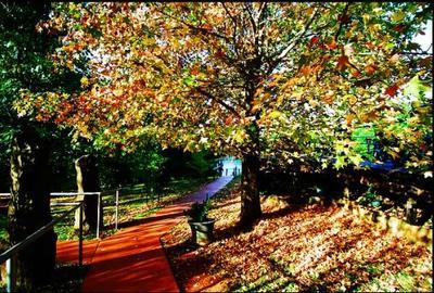 The color of a maple tree on Mt. Tamborine