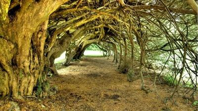 The Yew Tunnel